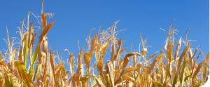 dried_cornstalks.jpg